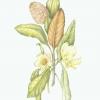 magnoliaadj