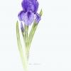purpleirisadj