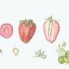 strawberrybotanicaladj
